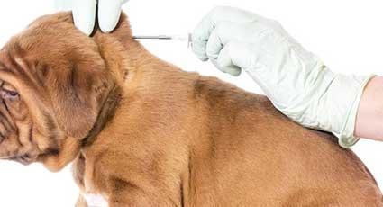 Microcipare - proceduri veterinare