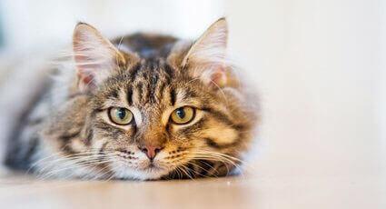 Tipuri de cancer la pisicile adulte