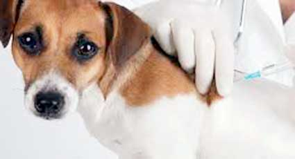 Vaccinare - proceduri veterinare